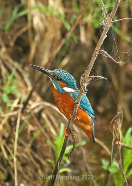 Kingfisher (image Kf 010) - Kingfishers