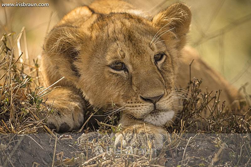 Shibli - Lion