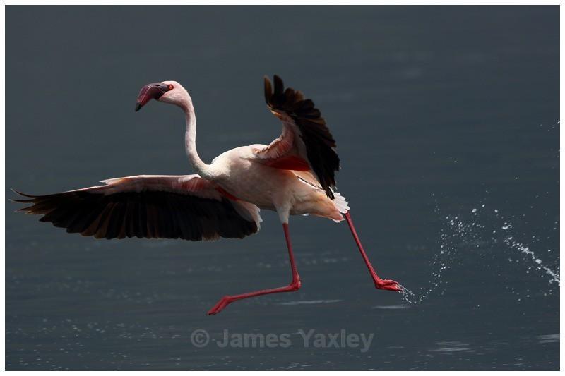 Flamingo Ballet - Kenyan Safari 2013