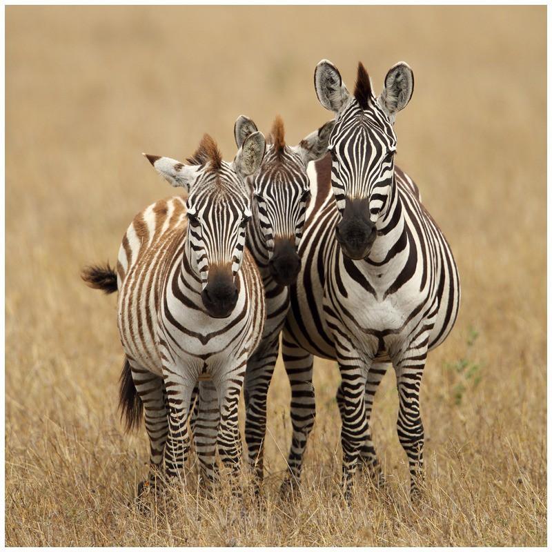 Zebra Family Portrait - Kenyan Safari 2013
