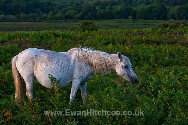 Bratley View Pony - British Wildlife