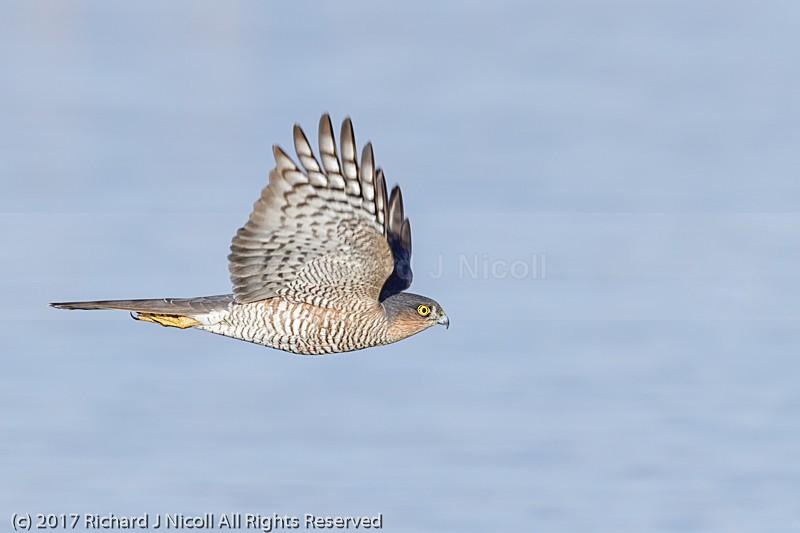Sparrowhawk (Accipiter nisus) - Sparrowhawk (Accipiter nisus)