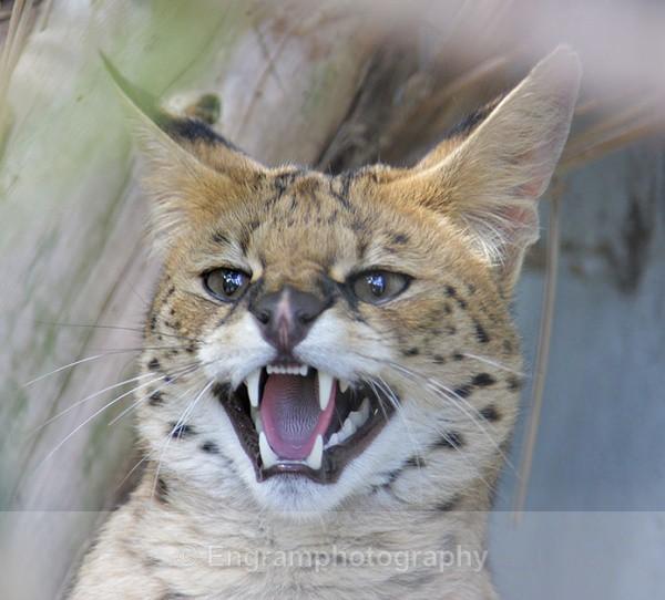 Serval - Animals (Fauna)