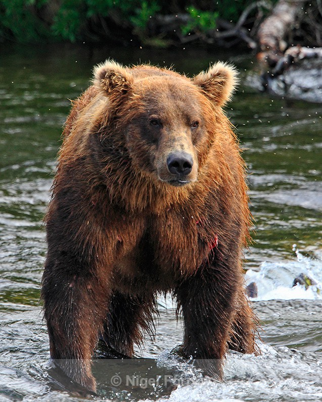 Grizzly Bear moving into position at the top of Brooks Falls - Bear