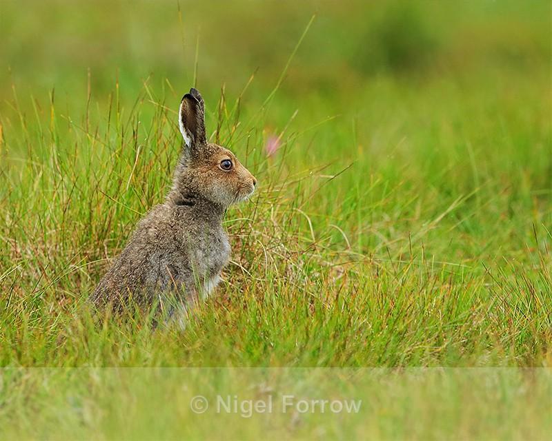 Mountain Hare, Cairngorms, Scotland - Hare