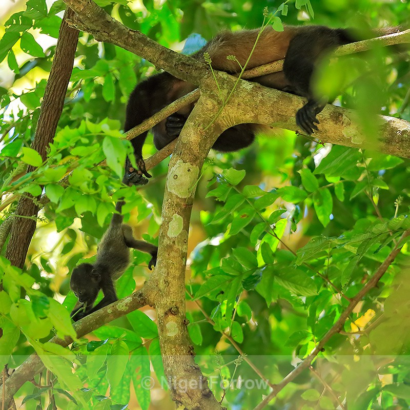 Baby Mantled Howler Monkey feeding, Manuel Antonio, Costa Rica - Monkey