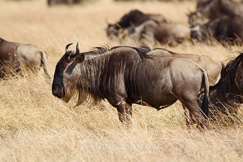 Wildebeest, Masai Mara, Kenya - Antelope