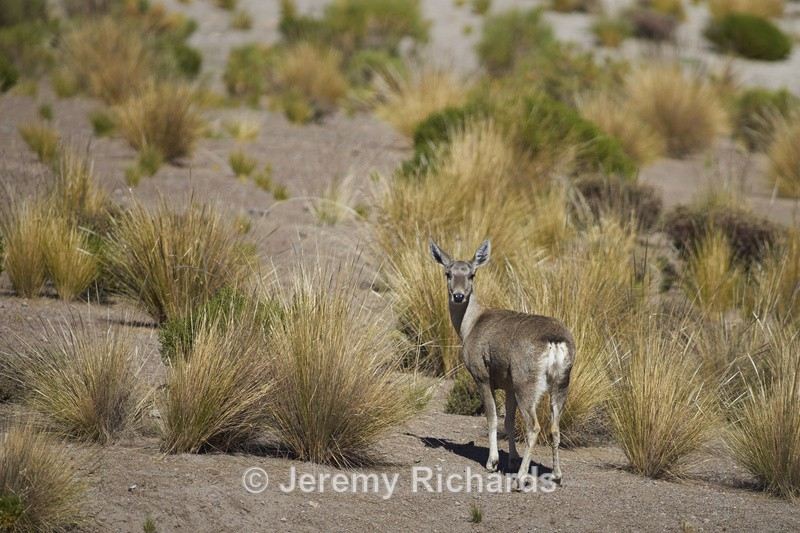 Female North Andean Deer - Altiplano of North-East Chile