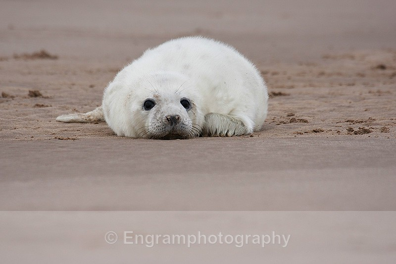 Grey Seal Pup-R1067 - Animals (Fauna)
