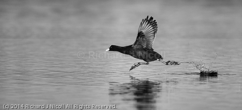 Coot (Fulica atra) running on water - Coot (Fulica atra)