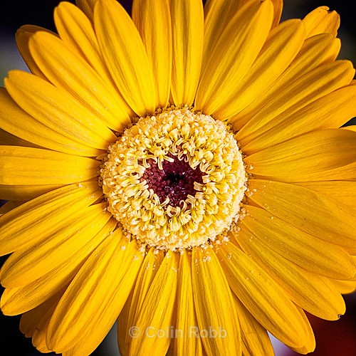 Yellow chrysanthemum   wall art   photograph by Colin Robb