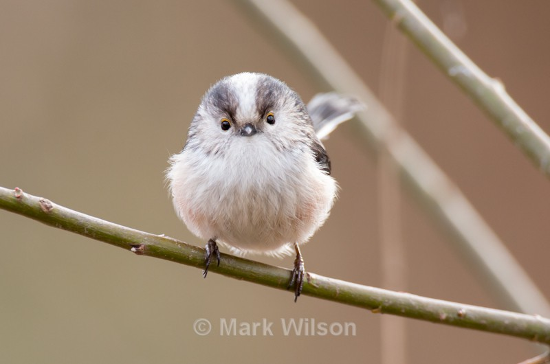 Long-tailed Tit - Garden birds
