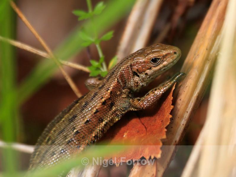 Common (or Viviparous) Lizard - REPTILES & AMPHIBIANS