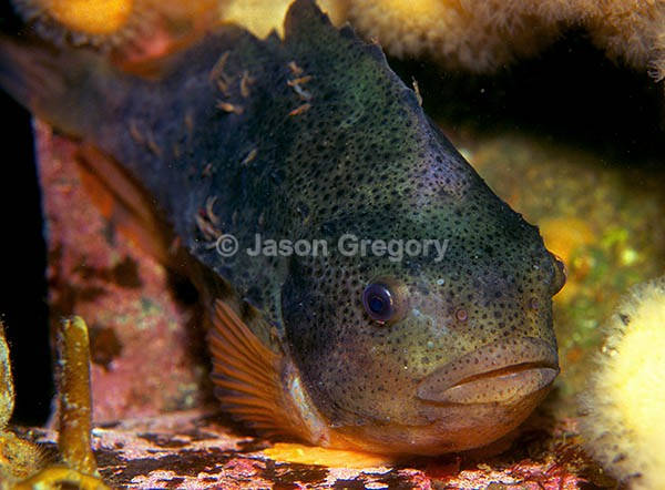 Cyclopterus lumpus - Fishes – bony and cartilagous (Pisces)