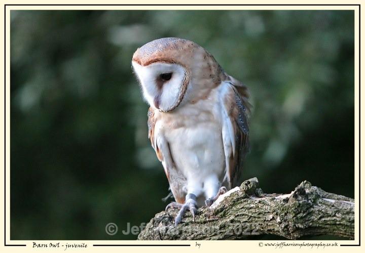 BO 005 - Barn Owls