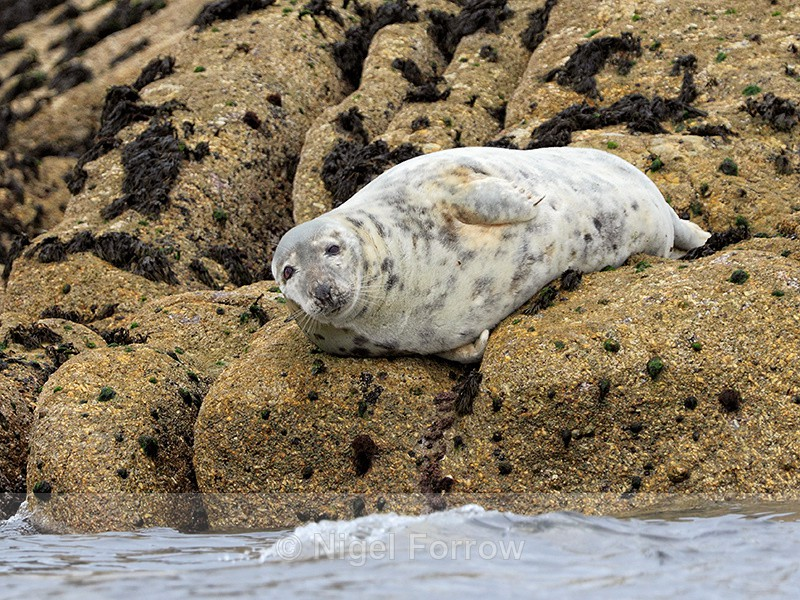 Grey Seal (female) resting on rocks, Isles of Scilly - Seal