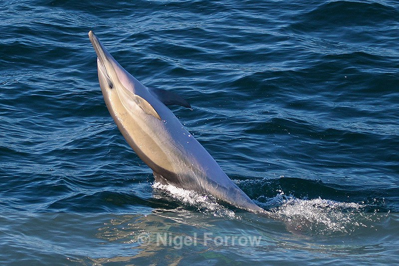 Bottle-nosed Dolphin in Walker Bay, South Africa - Dolphin