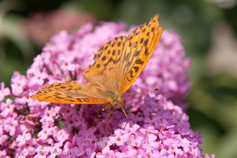 Silver-washed Fritillary - in the garden - Animals