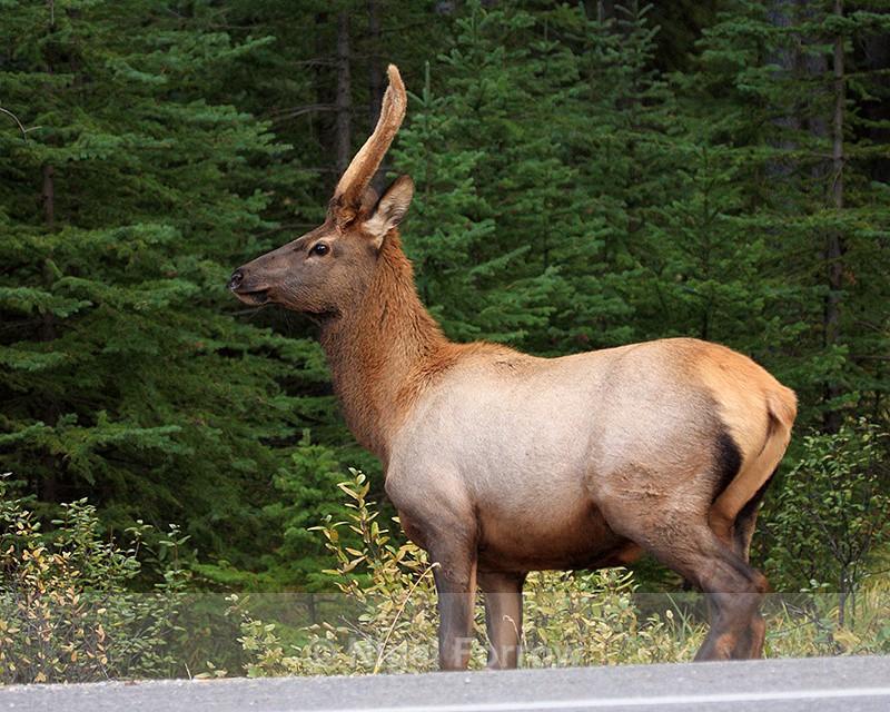 North American Elk, Banff, Canada - Deer
