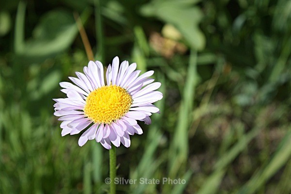 Blue Lakes Aster - Flowers