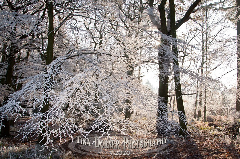 Hoar frostand sun shining through branches. Winter Landscape portfolio by Tina Dorner Photography,  Forest of Dean and Wye Valley, Gloucestershire