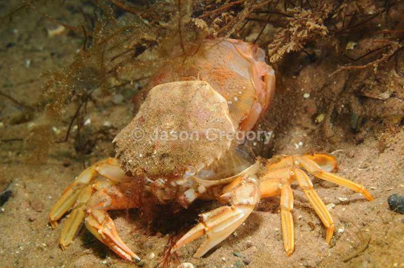 Liocarcinus depurator moulting a - Behaviour observations