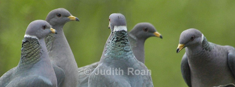 Band-tailed Pigeons - Birds