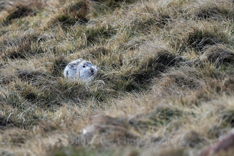Mountain Hares Jan 2018 - Recent Images