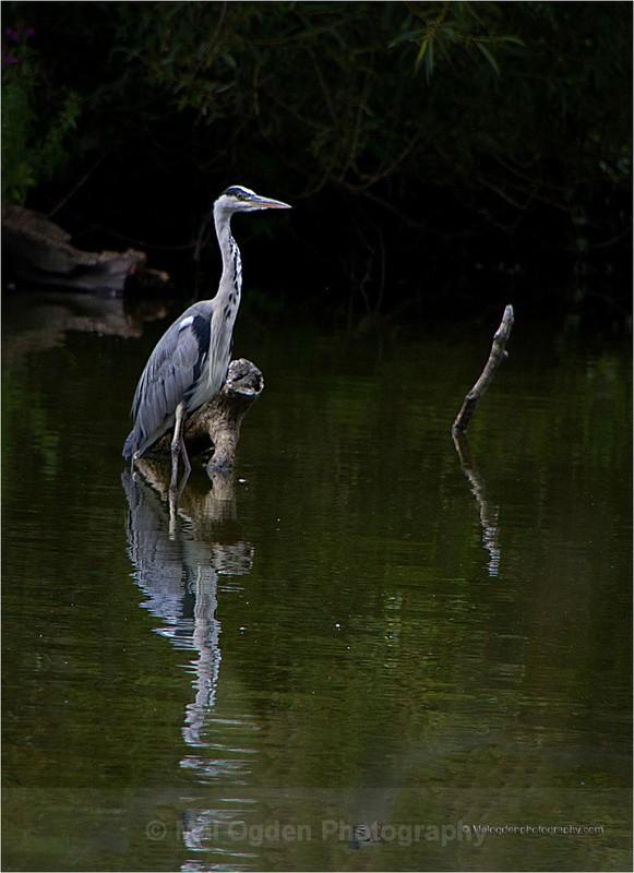 Grey Heron - Flora & Fauna