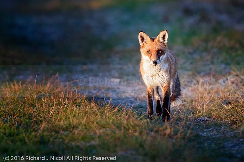 Red Fox (Vulpes vulpes) - Red Fox (Vulpes vulpes)
