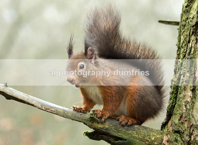 Red Squirrel 8 (disambiguation). - Eskrigg Nature Reserve Lockerbie