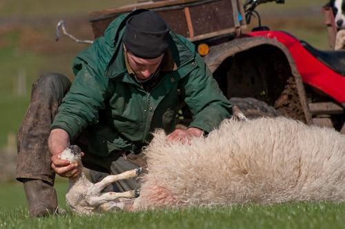9 - The Lambing