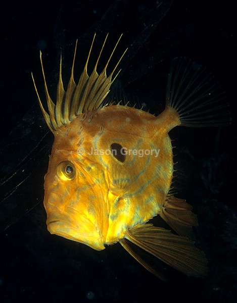 Zeus faber - Fishes – bony and cartilagous (Pisces)