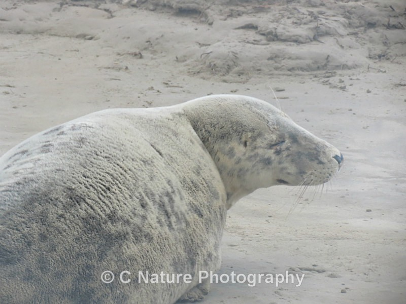 Grey Seal - Animals