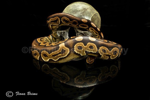 eccles - Reptile Photography