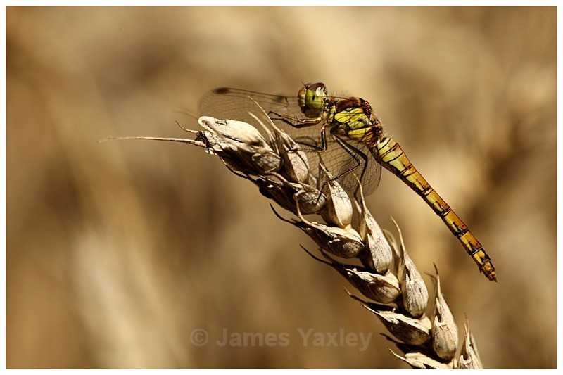 Common Darter on Wheat - Best of British Wildlife