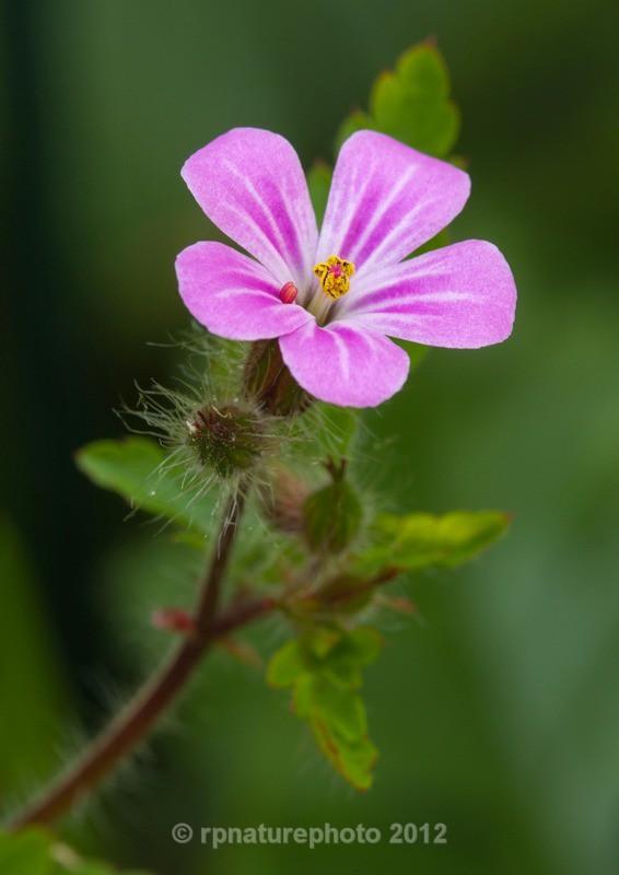 Herb Robert - Geranium robertianum RPNP0700 - Flowers