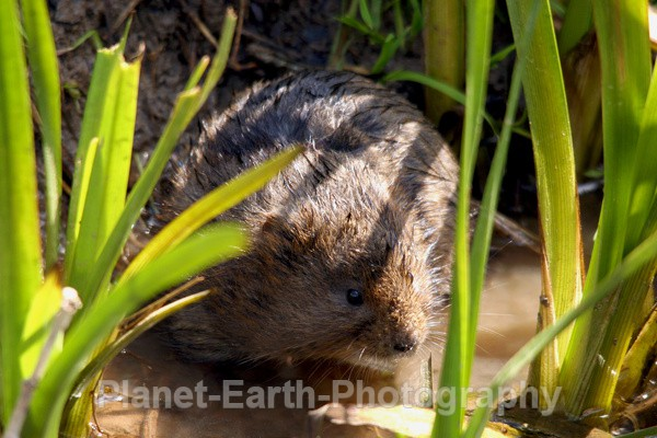 Water Vole 2 - UK Wildlife