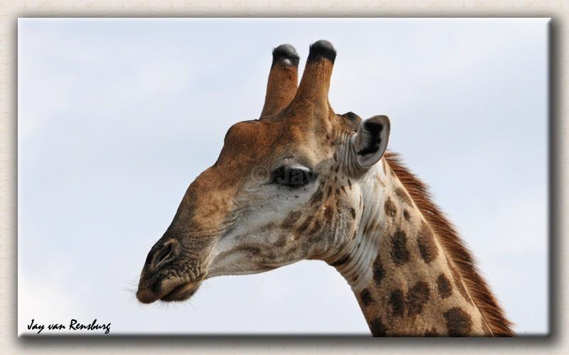 Giraffe profile - Zebr...