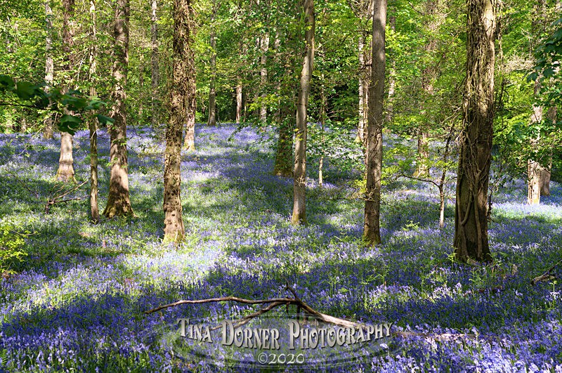 Bluebells by Tina Dorner Photography, Forest of Dean and Wye Valley, Gloucestershire