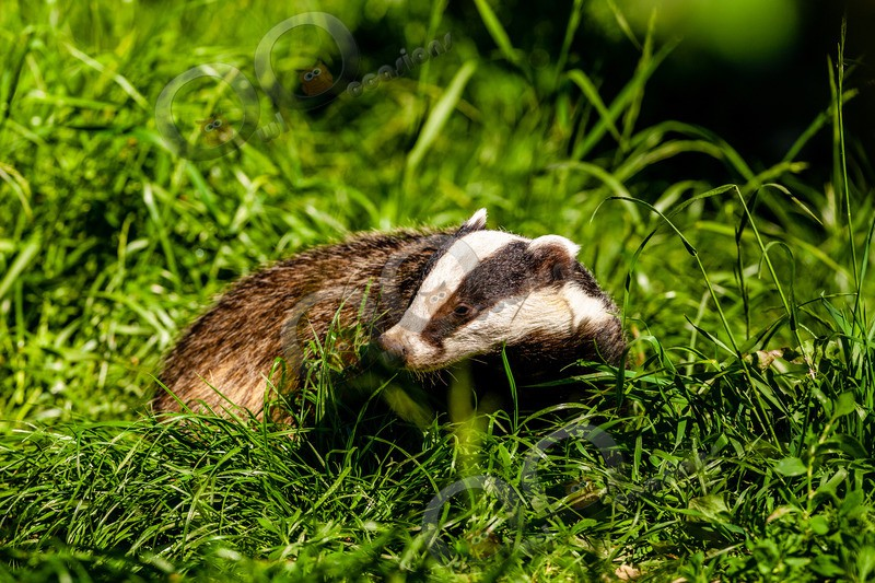badger Meles meles-6531 - UK Wildlife