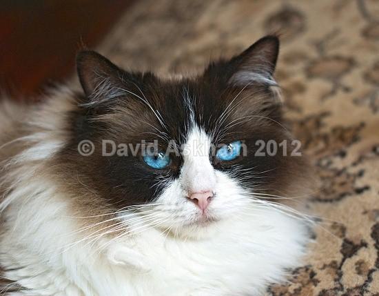 Blue eyes - Pets
