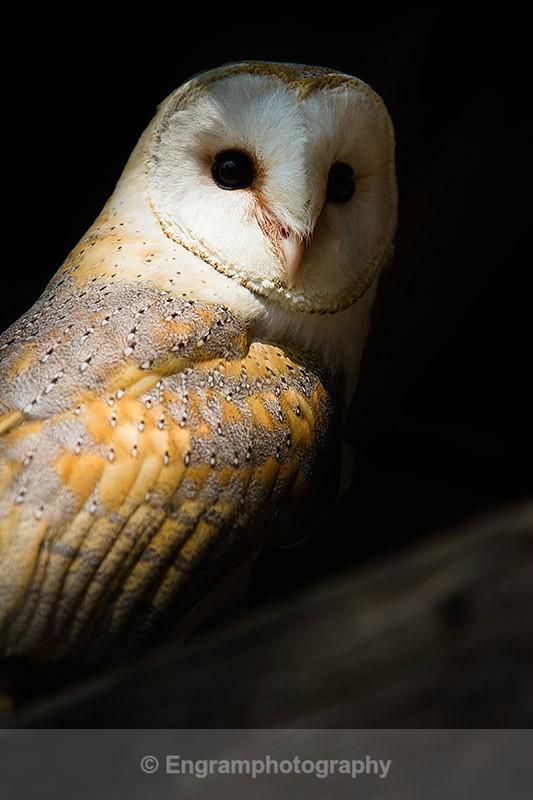 Barn Owl in shadow-R5589 - Birds