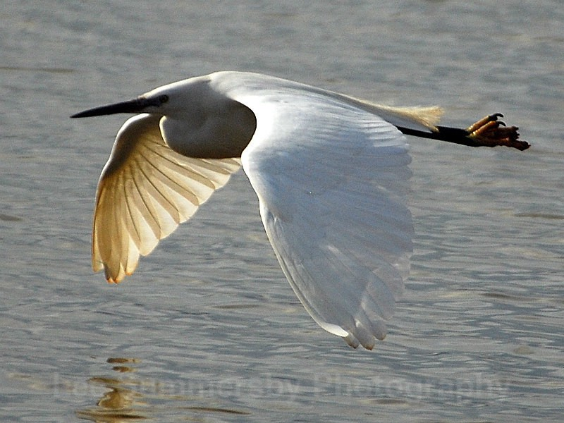 Little Egret, River Exe, Lympstone, Devon - Birds