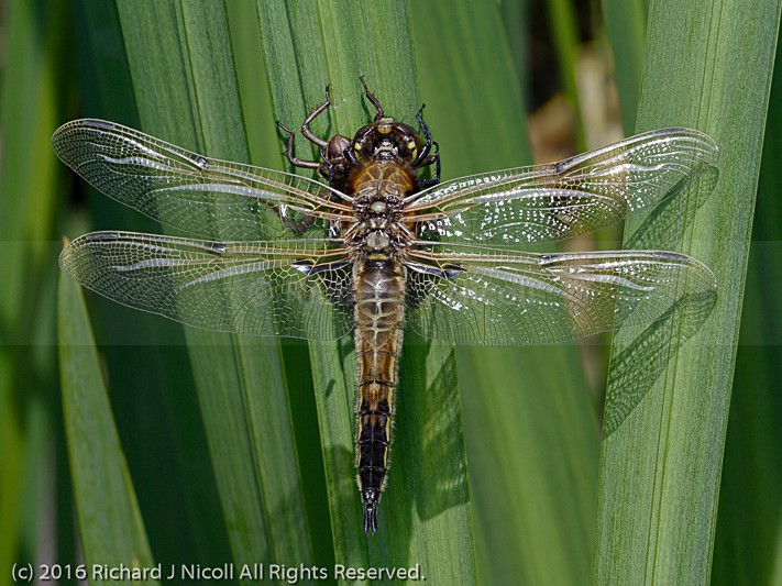 Four-spotted Chaser (Libellula quadrimaculata)  with exuvia - Four-spotted Chaser (Libellula quadrimaculata)