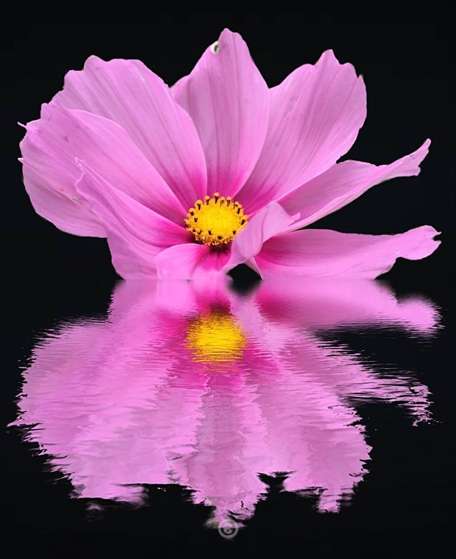 Cosmos Reflection - FLOWERS