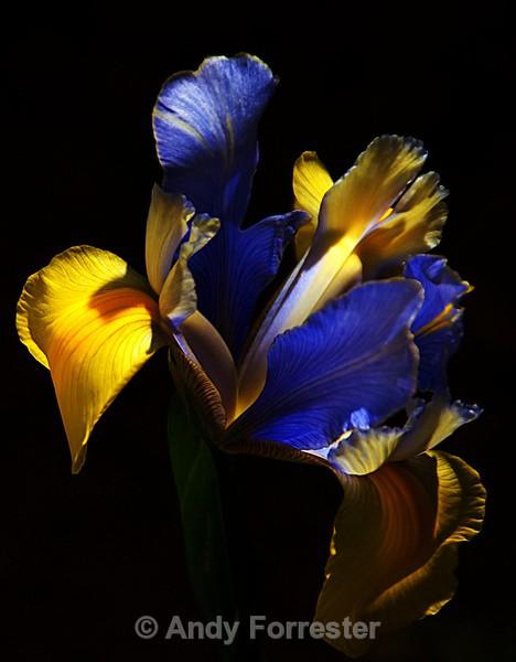 Spanish bulb Iris - Low Light Flowers