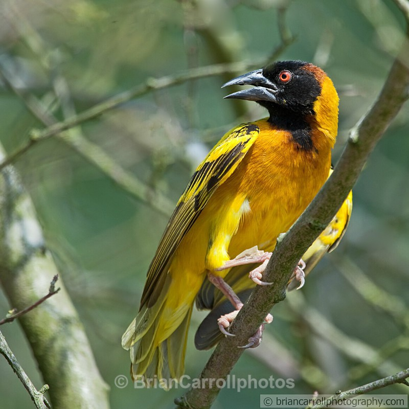Village Weaver Bird - Wildlife