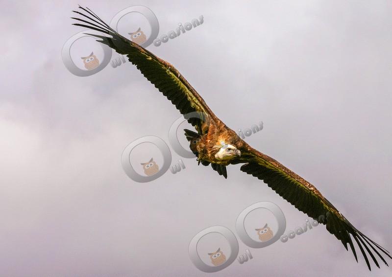 griffon vulture Gyps fulvus-1 - BoP from around the world