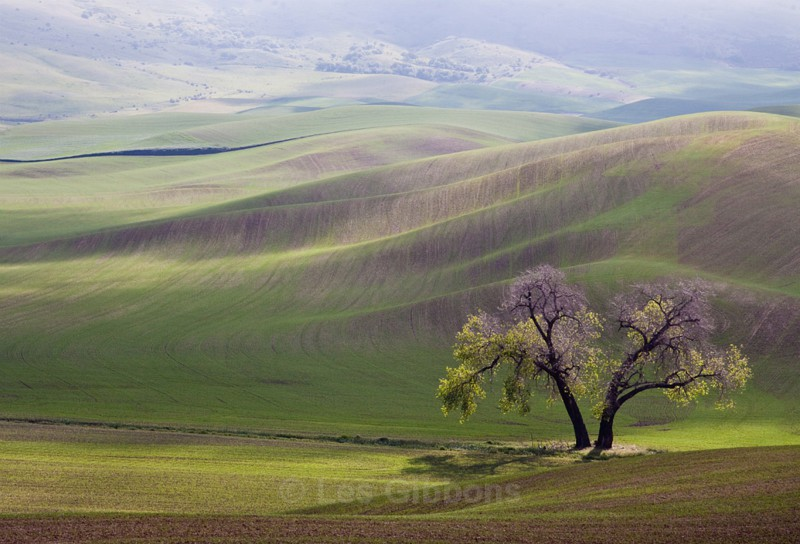 two trees2 - Palouse